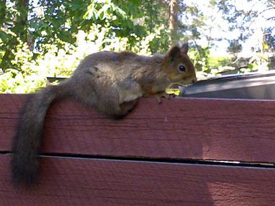 Orava piha-aidalla 2 metrin päässä