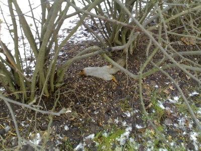 Entinen orava