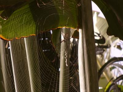 Kotipihan hämähäkki