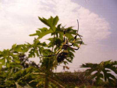 Vaarallinen keltainen hämähäkki