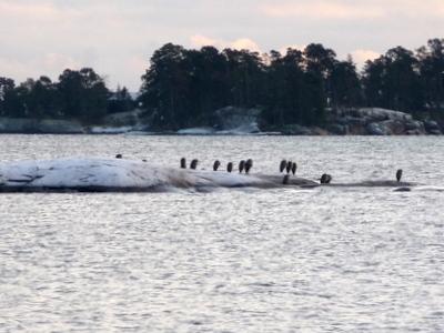 Harmaahaikarat Vuosaaressa Aurinkolahden luodolla - marraskuu 2008