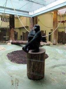 Gorilla poseeraa