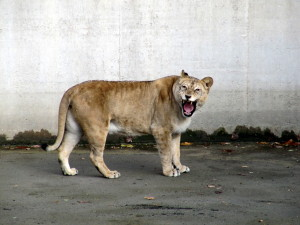 Leijonanaaras vihaisena