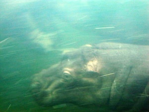 Uiva Hippo