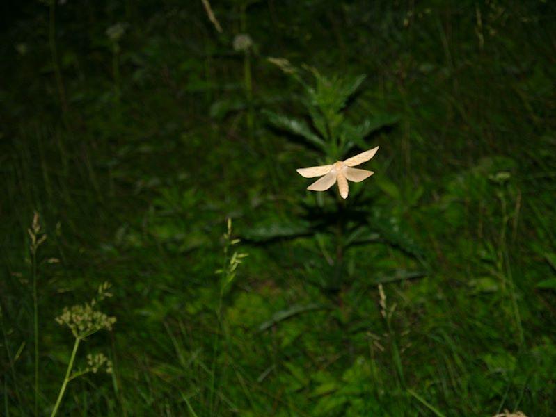 Humalaperhonen - naaras
