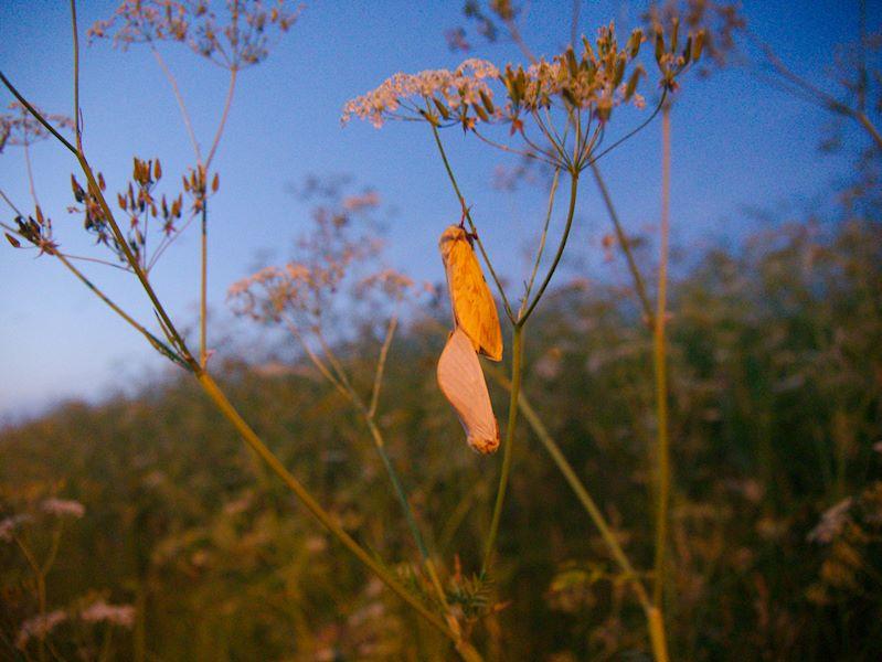 Parittelevat humalaperhoset